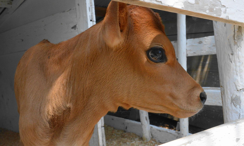 那須森林ノ牧場の生まれて間もない子牛
